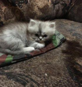 Котята персидские окрас шиншилла 2 месяца мальчики