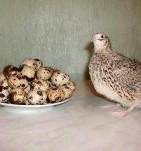 Яйцо и мясо перепелов