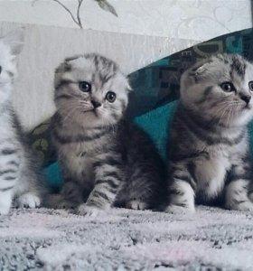 Шотландские котята.срочно!!!