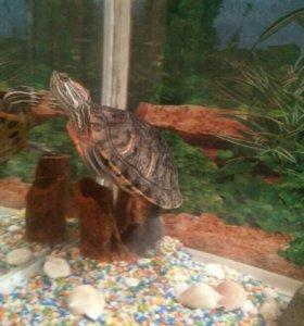 Красноухая черепаха, вместе с аквариумом на 50литр