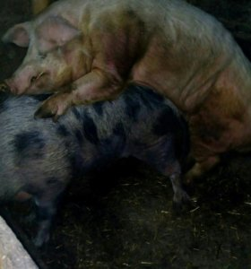 Свиноматка.