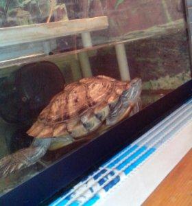 Черепаха красноухая,возраст1,5 года,ест сардельки.