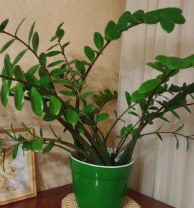 Зальмиокулькас (растение)