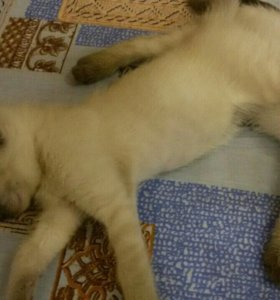 Сиамские котятки ждут своего хозяина!