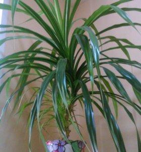 Пальма шагающая