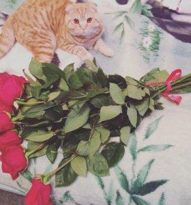 Плюшевый кот 🐱 шотландец вислоухий вязка