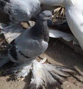 СРОЧНО!!!!!!Породистые голуби
