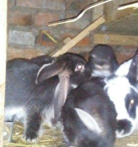 Продам крольчат, 2 месяца