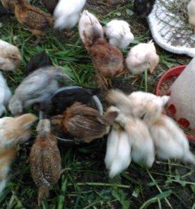 Продам цыплят 1 месяц от домашней курицы несушки.