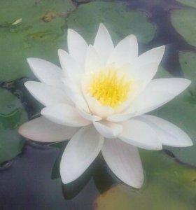 Нимфея прудовая (лилия)