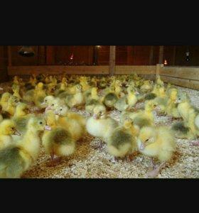 Домашние гусята