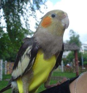Для попугая прогулочный костюм памперс
