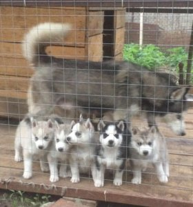 Продаются щенки хаски