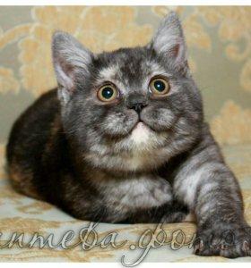 Кошки коты и котята британские в добрые руки
