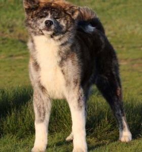 Выставочный щенок Акита ину