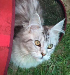 Кошечка мейн-кун 6 мес