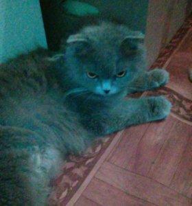 Кошка шотладская