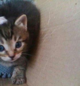 Продам даром два котика. (1 кошка ,2кот)