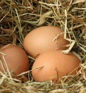 Яйцо куриное (крупное)