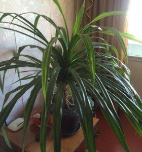 Растение для офиса или дома