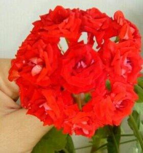 черенки розебудной пеларгонии