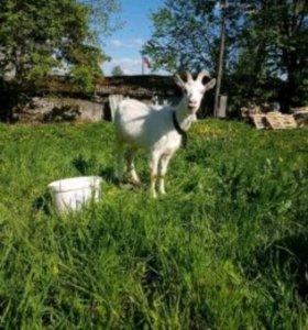 Коза 1 год з м
