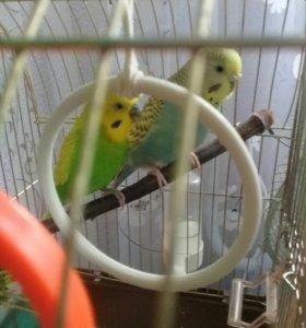 Волнистые попугайчики с клеткой