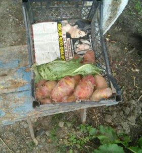 Картофель.крупный.