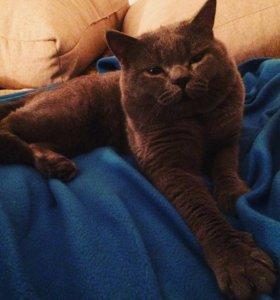 Шотландский кот вязка Девяткино
