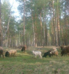 Овцы,бараны