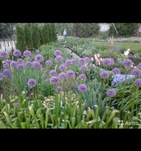 Цветы садовые Лук декоративный