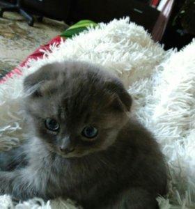 Котёнок шотландский вислоухий.
