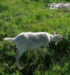 Коза.дойная