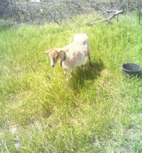 Дойные козы