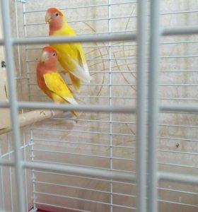 Продам попугаев неразлучников