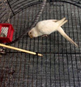 Попугай альбинос девочка