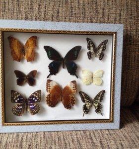 Картина с засушенными бабочками