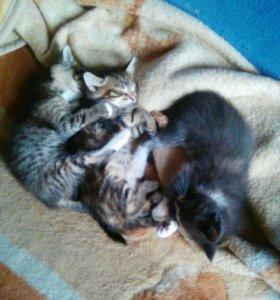 Кошечки трехцветки бесплатно