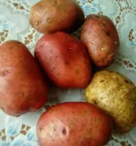 Картошка едовая