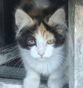 Трёхцветный пушистый котёнок в добрые руки