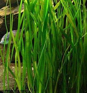 Валиснерия (аквариумное растение)