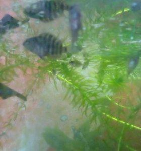 Маленькие аквариумные рыбки ЦИКЛИДЫ