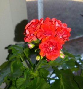 Пеларгония сортовая🌸красная розебудная 🌸