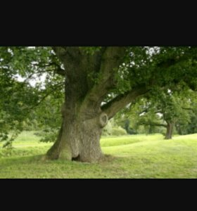 Столбы дубовые