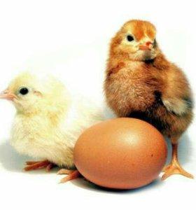 Цыплята курочки