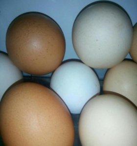Яйца, домашние