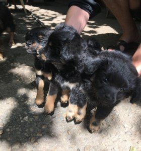 Две очаровательные девочки-собаки