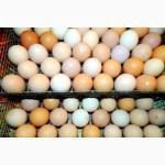 Яйцо инкубационное куриное