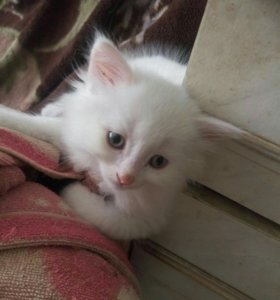 Котенок белый