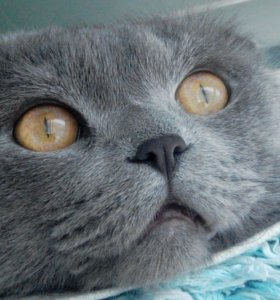 Шотландец-кот